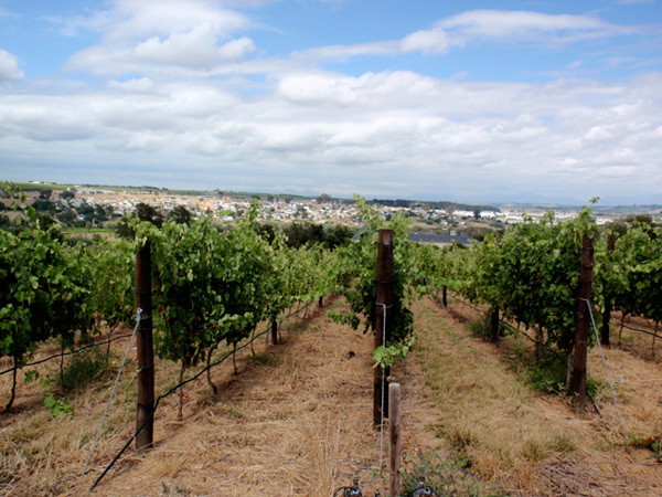 Blaauwklippen Vineyard rows