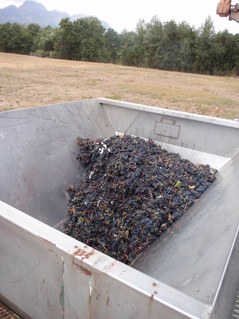 Merlot in crusher