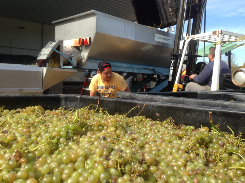 Millbrook chardonnay harvest and grapes