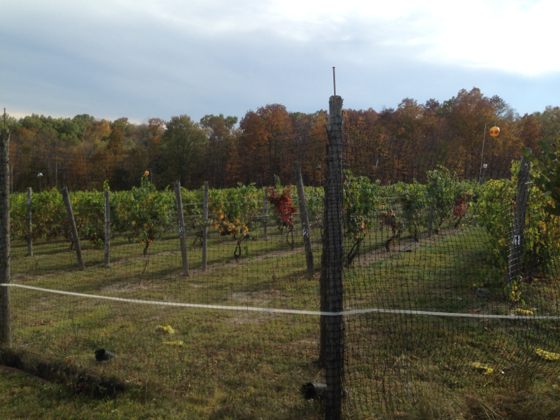 Robibero vineyard rows
